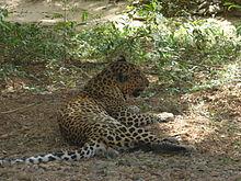 Leopard in Borivali National Park